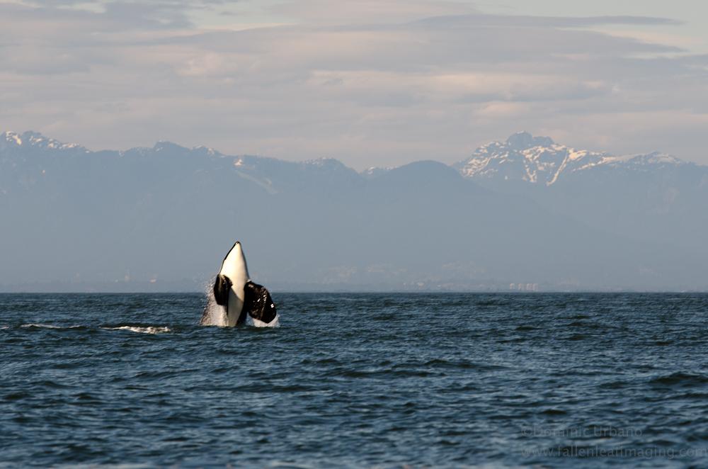 orca whale breach