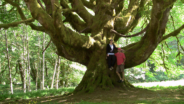 Massive big leaf maple