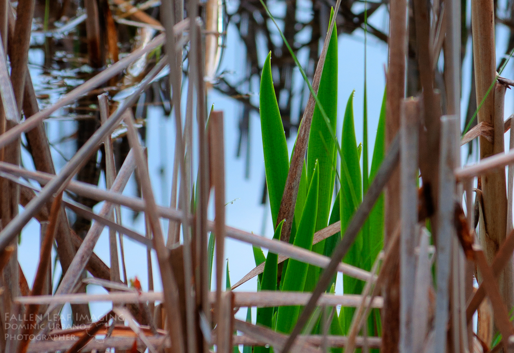 Cattail new spring growth